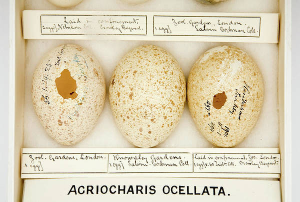 Aviary Photograph - Agriocharis Ocellata Eggs by Natural History Museum, London