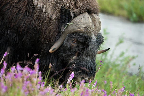 Bovine Photograph - Alaska, Nome Muskox Male by Cindy Miller Hopkins