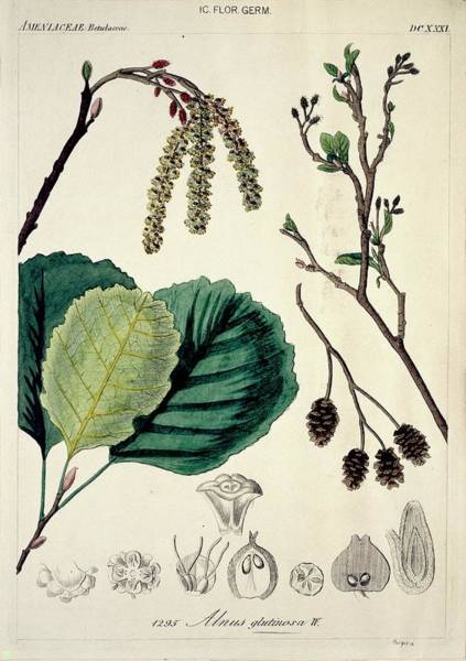 Wall Art - Photograph - Alder Tree Alnus Glutinosa by Natural History Museum, London/science Photo Library