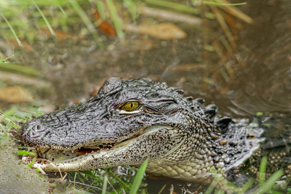 Photograph - Alligator by Peter Lakomy