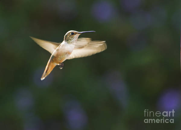 Photograph - Allen's Hummingbird by Dan Suzio
