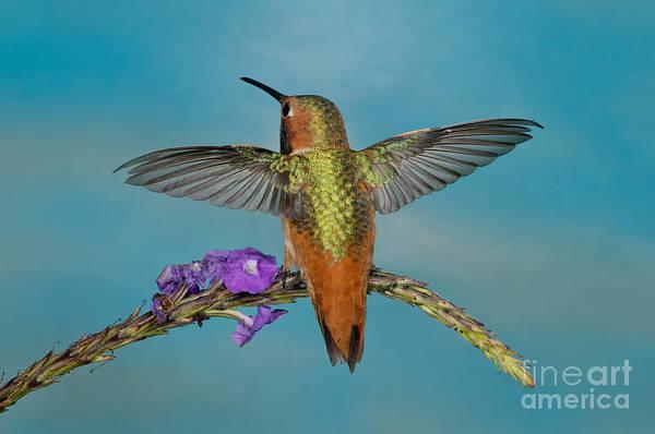 Selasphorus Photograph - Allens Hummingbird Male by Anthony Mercieca
