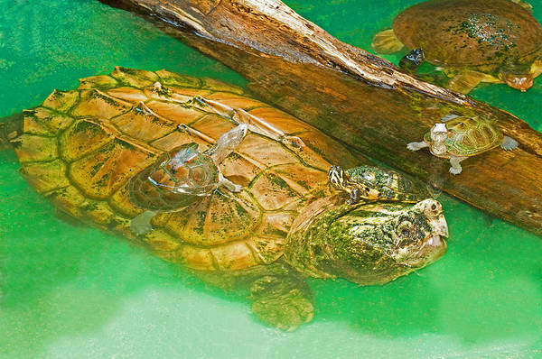 Snapping Wall Art - Photograph - Alligator Snapping Turtle With Young by Millard H. Sharp