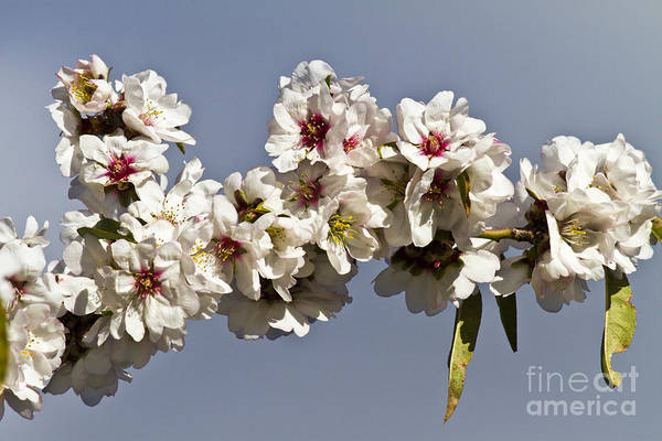 Photograph - Almond Branch by Heiko Koehrer-Wagner