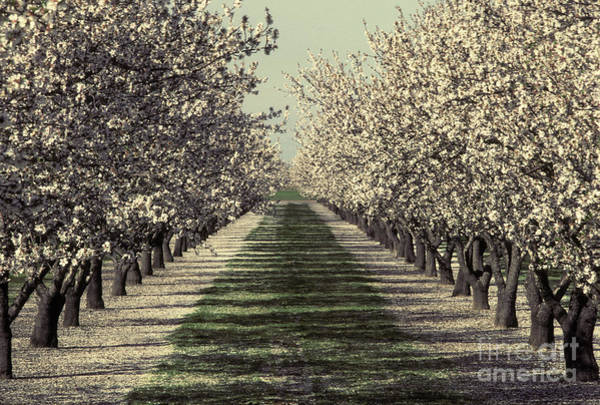 Dicot Wall Art - Photograph - Almond Orchard In Bloom by Ron Sanford