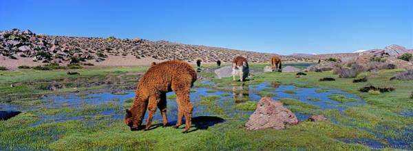 Wall Art - Photograph - Alpaca (vicugna Pacos by Martin Zwick