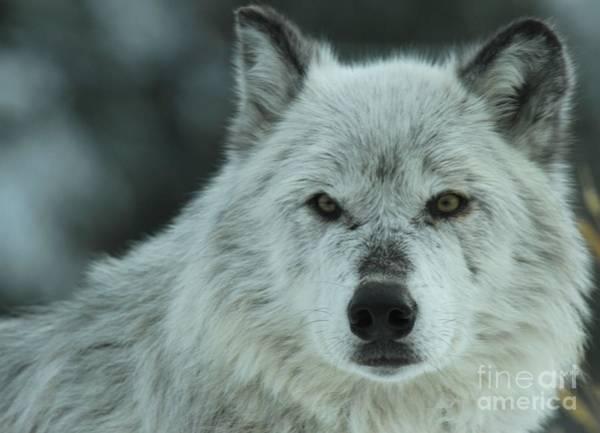 Alpha Wolf Wall Art - Photograph - Alpha Girl by Adam Jewell