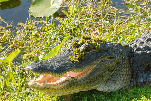 Photograph - American Alligator by Doug McPherson