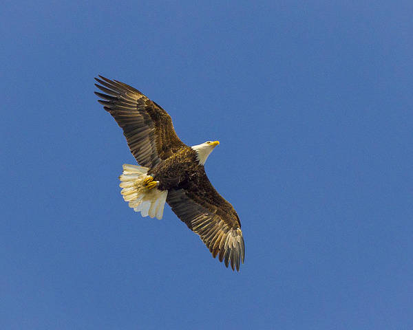 Photograph - American Bald Eagle by Jack R Perry