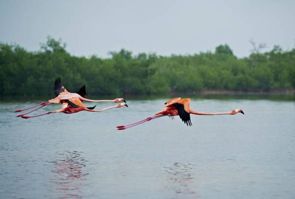 Yucatan Wall Art - Photograph - American Flamingo, Phoenicopterus Ruber by Juergen Ritterbach
