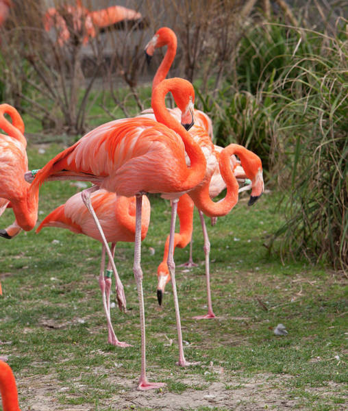 Wall Art - Photograph - American Flamingoes Feeding by Pascal Goetgheluck/science Photo Library