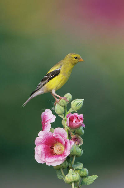 Alcea Photograph - American Goldfinch (carduelis Tristis by Richard and Susan Day