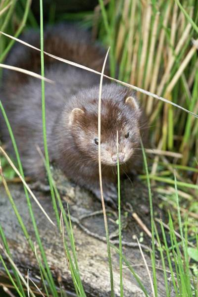 Wall Art - Photograph - American Mink by Gustoimages/science Photo Library