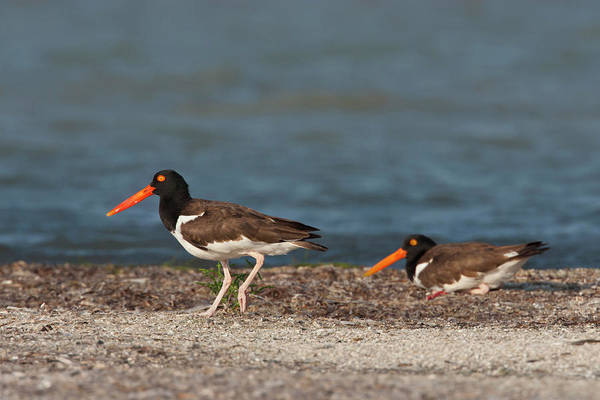 Oyster Bar Wall Art - Photograph - American Oystercatcher (haematopus by Larry Ditto