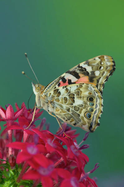Butterfly Bush Wall Art - Photograph - American Painted Lady Butterfly by Darrell Gulin