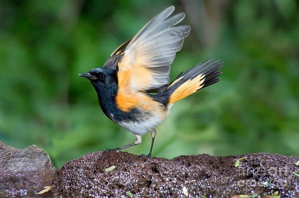 Parulidae Photograph - American Redstart by Anthony Mercieca