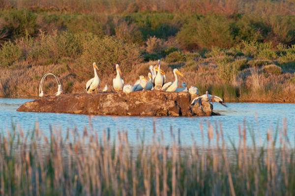 American White Pelican Wall Art - Photograph - American White Pelicans On Small Island by Howie Garber