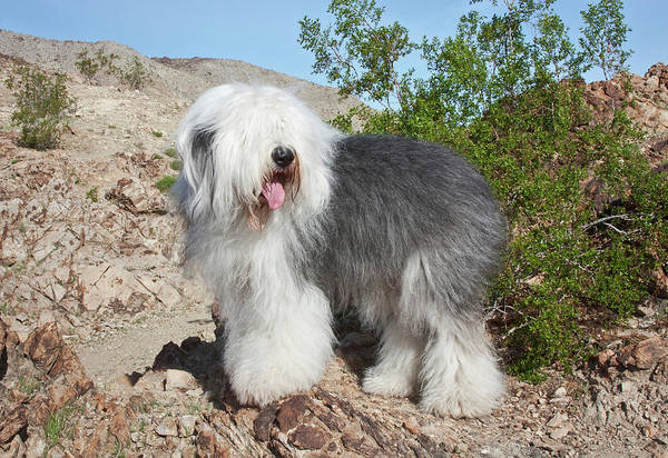 State Of Colorado Photograph - An Old English Sheepdog Standing by Zandria Muench Beraldo