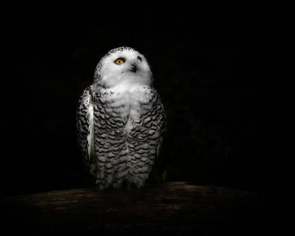 Black Background Photograph - An Owl by Kaneko Ryo