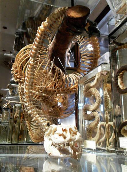 Anaconda Skeleton Art Print