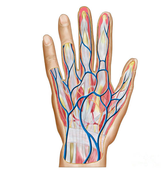Superficial Digital Art - Anatomy Of Back Of Human Hand by Stocktrek Images