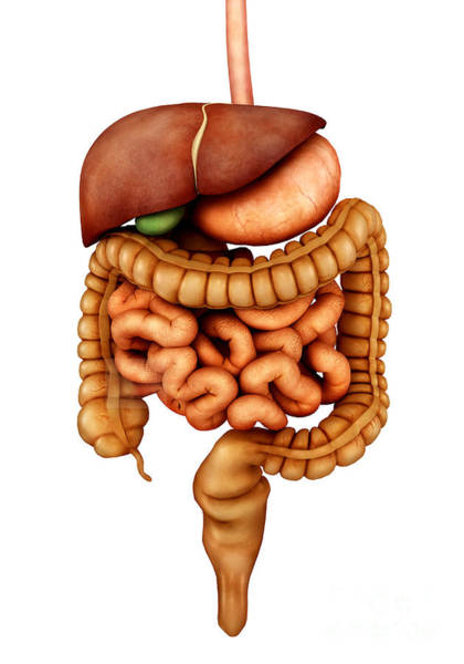 Bladder Digital Art - Anatomy Of Human Digestive System by Stocktrek Images