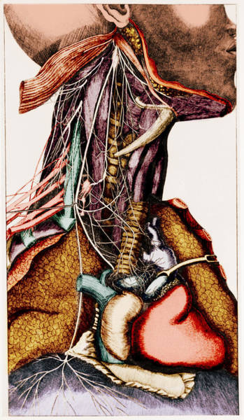 Photograph - Anatomy Of The Neck by Science Source