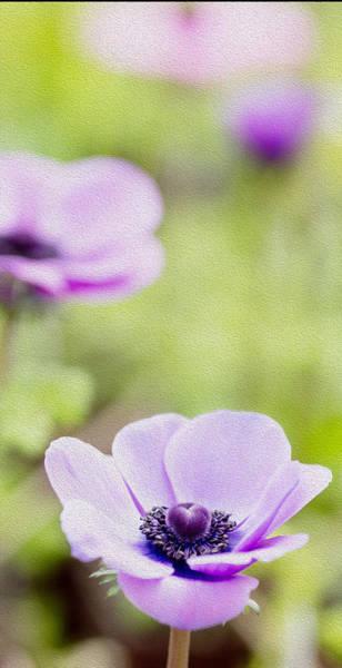 Oil Paint Photograph - Anemone - Purple Center by Rebecca Cozart