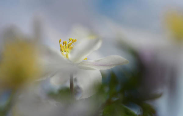 Wall Art - Photograph - Anemone Nemorosa by Heidi Westum