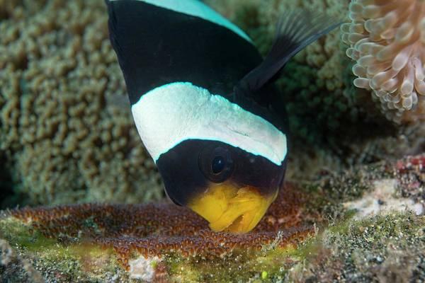 Anemonefish Photograph - Anemonefish Guarding Eggs by Scubazoo