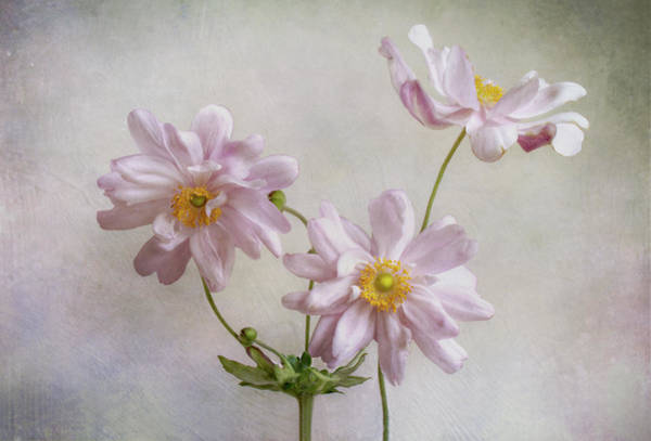 Garden Photograph - Anemones by Mandy Disher
