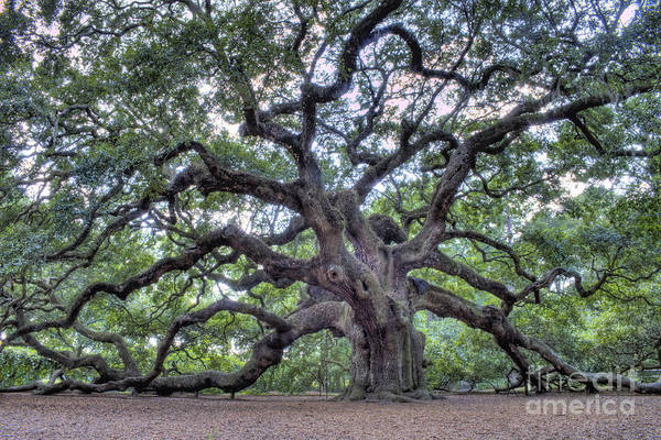 Island Photograph - Angel Oak by Dustin K Ryan