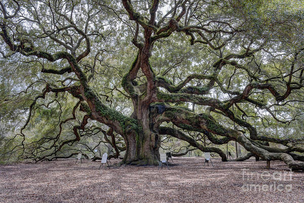 Photograph - Angel Tree by Dale Powell