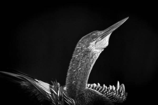 Photograph - Anhinga On Black Bw by Patrick M Lynch