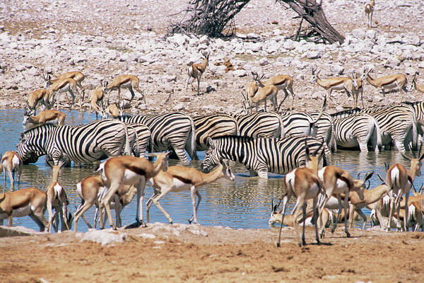 Wall Art - Photograph - Animals At A Waterhole by Sinclair Stammers/science Photo Library