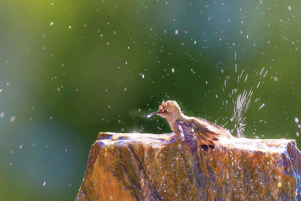 Wall Art - Photograph - Anna's Hummingbird Taking A Shower by Tom Norring