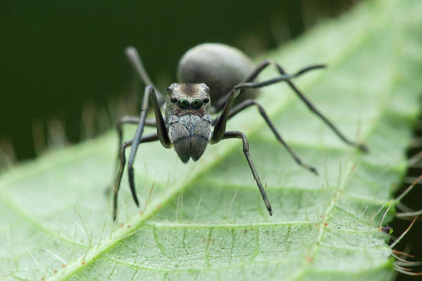 Ant Mimic Jumping Spider Art Print