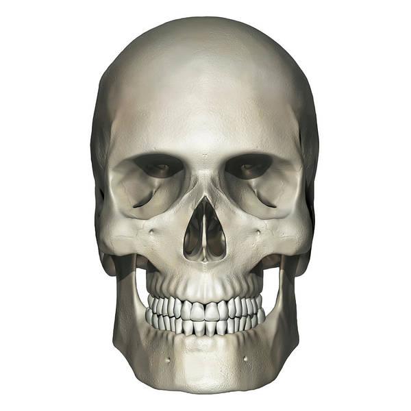 Wall Art - Photograph - Anterior View Of Human Skull Anatomy by Alayna Guza