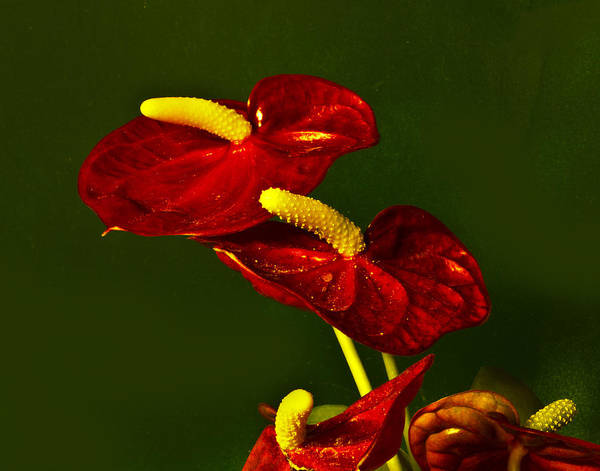 Photograph - Anthurium by Bill Barber