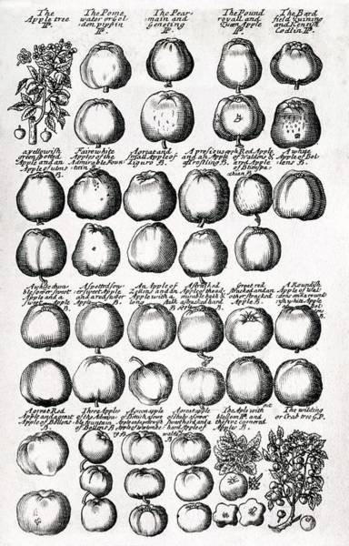 Wall Art - Photograph - Apples by George Bernard/science Photo Library