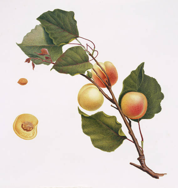 Germania Photograph - Apricot by Natural History Museum, London/science Photo Library