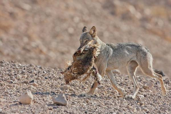 Canis Lupus Photograph - Arabian Wolf (canis Lupus Arabs) by Photostock-israel