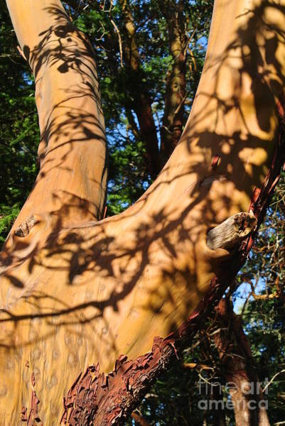 Photograph - Arbutus Tree by Sharron Cuthbertson