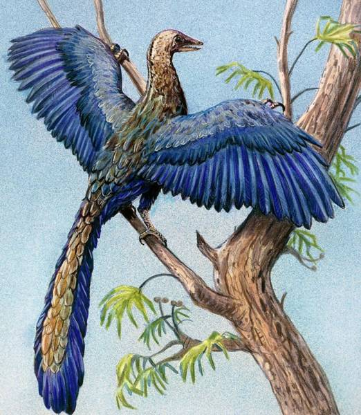Wall Art - Photograph - Archaeopteryx by Michael Long/science Photo Library