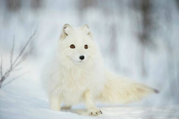 Arctic Fox In The Snow Art Print by Dr P. Marazzi/science Photo Library