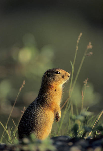 Alert Photograph - Arctic Ground Squirrel, Denali National by Gerry Reynolds