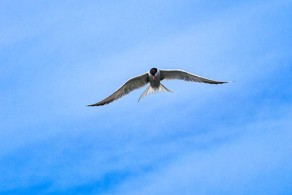 Art Print featuring the photograph Arctic Tern by Perla Copernik