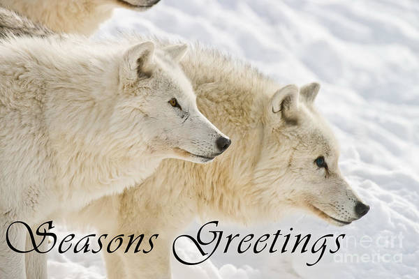 Photograph - Arctic Wolf Seasons Greetings Card 13 by Wolves Only