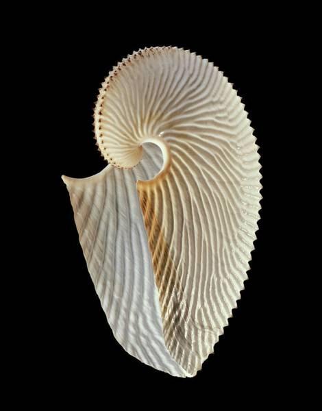 Wall Art - Photograph - Argonaut Octopus Eggcase Shell by Gilles Mermet