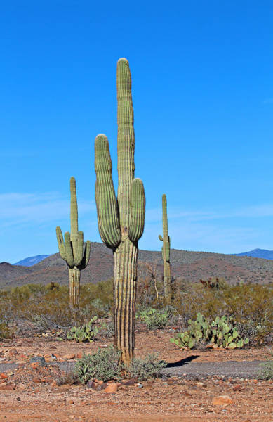 Cylindropuntia Bigelovii Photograph - Arizona Desert by Paul Fell